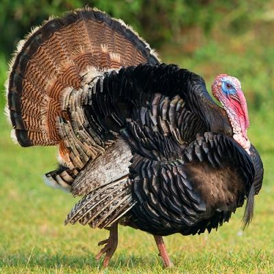 turkey_big